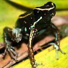 Striped Poison Dart Frog by Robbie Labanowski