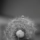 Dandelion, a drop of water by Alex Colcheedas