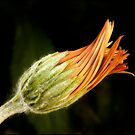 twisted gerbera bud by Helenvandy