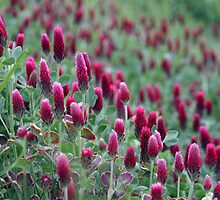 Red Clover by Carolyn  Fletcher