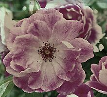 Old fashioned rose by Jane  mcainsh