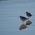 Piping Plovers in Salvo by Robin Lee