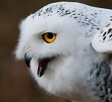 Snowy Owl by (Tallow) Dave  Van de Laar