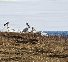 Pelicans Along the Shoreline by Alyce Taylor