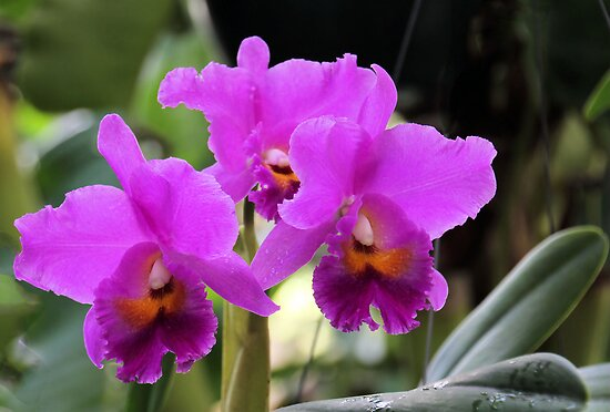 Cattleya Pumpernickel Orchid by Rosalie Scanlon