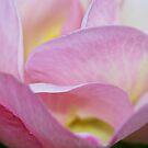 Soft rose folds by mooksool