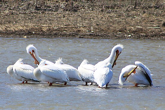 The Pelicans Are Back by Alyce Taylor