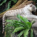 White Tiger - Singapore. by Ralph de Zilva