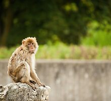 Barbary Ape by mylitleye