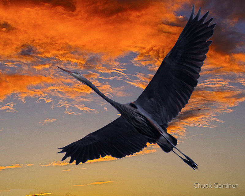 Great Blue Heron at Sunset  by Chuck Gardner