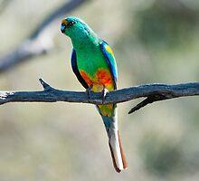 Mulga Parrot by John Donkin