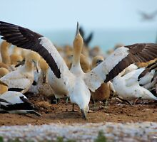 YES, I AM READY FOR MY FIRST TAKE OFF, REACH FOR THE SKY ! Cape Gannet {Morus capensis}, Bird Island, Lamberts Bay, South Africa by Magaret Meintjes