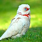 Very serious long-billed corella by Jennie  Stock