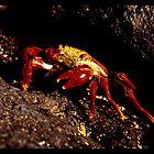 Red Crab (Galapagos) by Olivier Moreno