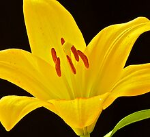 Yellow Lily by Mihaela Limberea