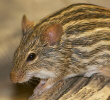 Striped grass mouse -II- by mc27
