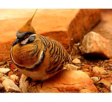 Spinifex Pigeon Photographic Print