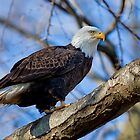 Bald Eagle, Conowingo Dam by Rob Lavoie