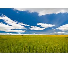 rice farm under the blue sky  Photographic Print