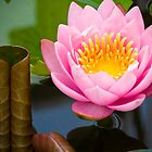 pink lotus by hinnamsaisuy