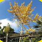 Lovely Ginkgo Biloba in Autumn by daffodil