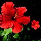 Sunshine Hibiscusi by Glenn Cecero