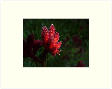 Kangaroo Paw Bud by Sharon Brown