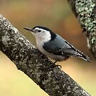 White-breasted Nuthatch by Harry Snowden