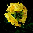 Canna Lily from the top by Virginian Photography (Judy)