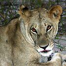 Lioness in botswana by jozi1