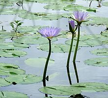 A water lily pond, Gold Coast, Queensland by krista121