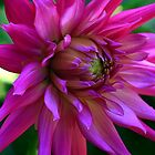 pink dahlia by alex skelly