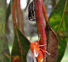 Eurymeloides bicincta - Two lined gumtree hopper by macinverts