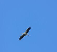 Stork in flight by fotorobs