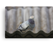 Pigeon on the roof. Canvas Print