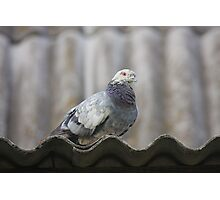 Pigeon on the roof. Photographic Print