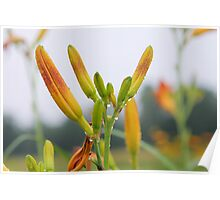 Lily in grass. Poster