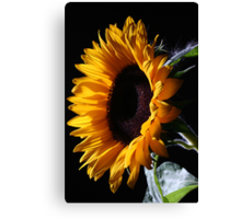 Sunflower in studio 1 Canvas Print
