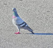 She was the prettiest pigeon, which is why she spent alot of time alone, shunned by the other females in the flock because of her poise, beauty, and colorful plumage.  by Scott Mitchell