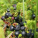Jenever berries (Jajem) ingredient by patjila