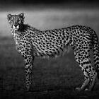 Regal by Rashid Latiff