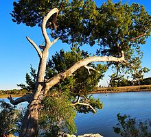 Cedar Tree On Coast by joevoz