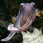 Cuttlefish insouciance by Chris Allen
