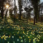 Daffodils by garykingphoto