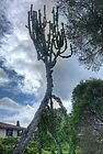 The Biggest Cactus in the World? by Elaine Teague