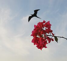 Frigate Bird with Bougainvillea - Fregata, Puerto Vallarta, Mexico by PtoVallartaMex