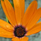 Orange daisy by Jeanne Horak-Druiff