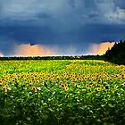 Sunflowers during Stormy Sunset by ieatstars