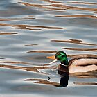 Quacking Duck by Forrest  Ray