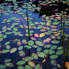 Lily Pads~ by Virginian Photography (Judy)